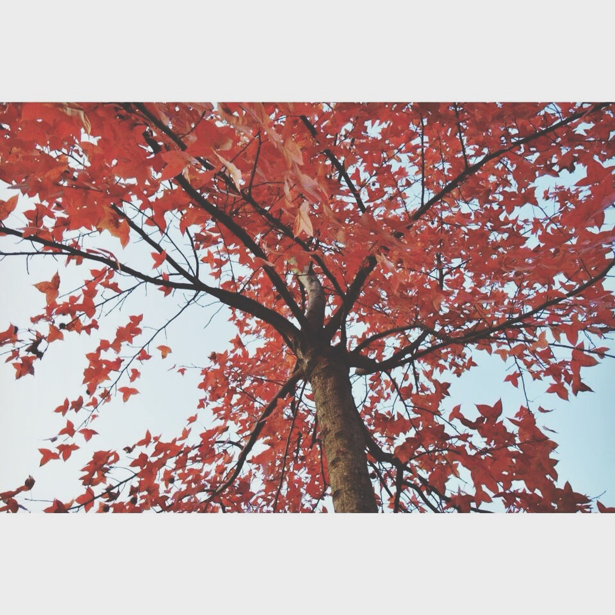 transfer print, low angle view, auto post production filter, tree, nature, growth, beauty in nature, branch, clear sky, autumn, tranquility, red, leaf, sky, season, outdoors, no people, change, day, sunlight