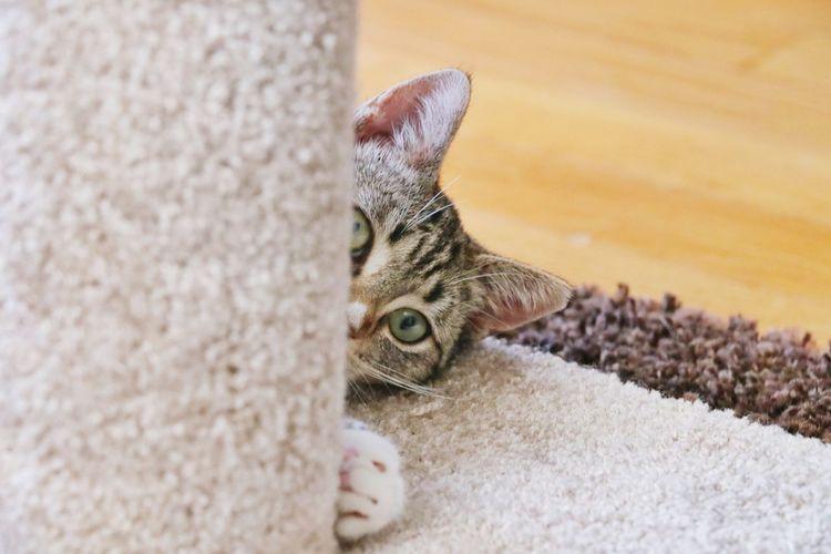 Playful Peekaboo Fun Animal Themes Pets Pet Photography  Close-up Cat Domestic Cat Feline Kitten Tabby