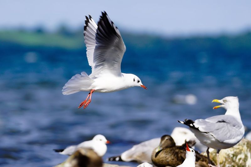Attacke ... 😂 Attack Lachmöwe Gull Seagull Common Gull Birds Animals In The Wild Animal Themes Flying Wildlife Water Bird Germany Flensburger Förde