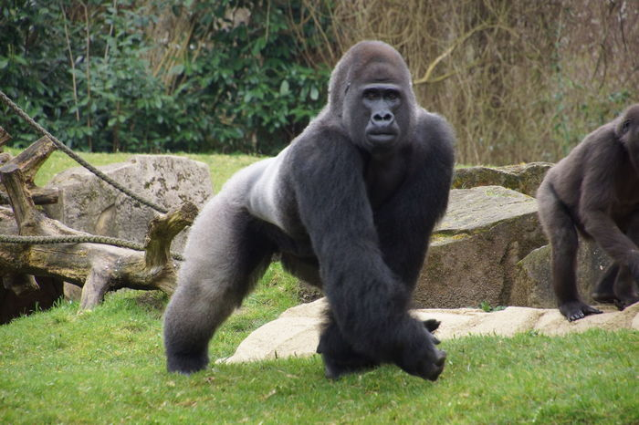 Animal Themes Animal Wildlife Day Gorilla Grass Mammal Monkey Nature No People Outdoors Primate Silverback Silverback Gorilla Sitting