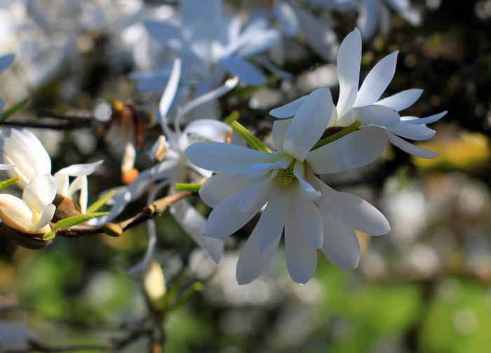 Magnolia Beauty In Nature Close-up Day Flower Flower Head Fragility Freshness Growth Nature No People Outdoors Petal Plant Springtime Tree White Color