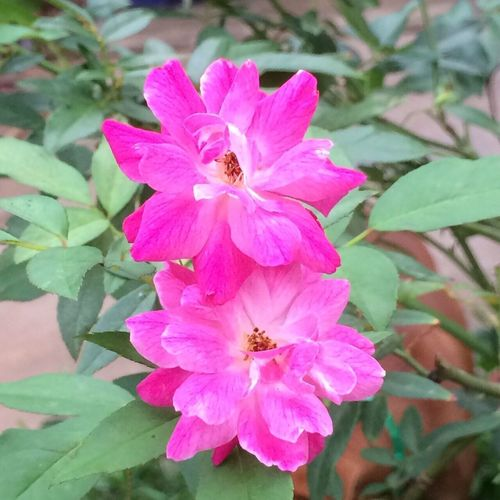 My roses 🌹🌹 for you all 😘💕💕💕 Rosé Roses Rose🌹 Roses🌹 Rose - Flower Rose♥ Roses Flowers  Roseporn Rose Collection Rose Flower Roses Are Pink Roses As A Gift Roses_collection Rosesinmygarden Roses Photography