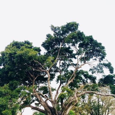 Textures and Surfaces Tree_collection  Plant Tree Sky Growth Low Angle View Nature Day Beauty In Nature Clear Sky Plant Part No People Green Color Foliage Lush Foliage Leaf Sunlight Tranquility Branch Outdoors Scenics - Nature