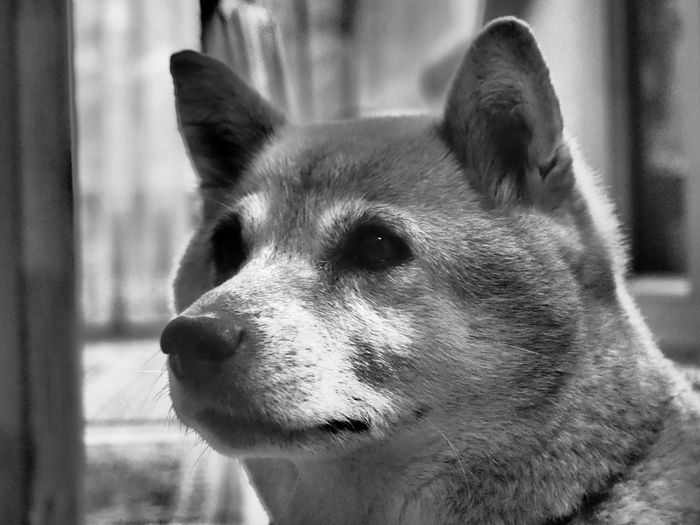 Animal Body Part Animal Head  Animal Nose Close-up Day Domestic Animals Focus On Foreground Looking Away Mammal Nature No People Outdoors Part Of Pets Portrait Selective Focus Shiba Shiba Inu Snout Showcase July