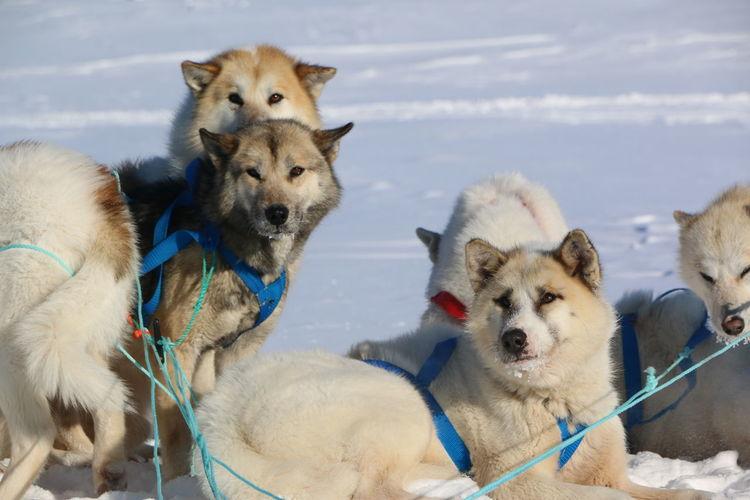 Huskies On Snow Field Against Sky