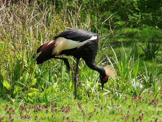 Animal Themes Grass Bird Nature Green Color Crane Crane Bird Bird Photography Birds_collection Birds🐦⛅ Birdphotography Martin Mere