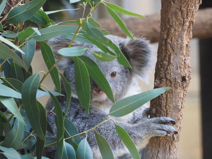 Close-up of koala bear on tree