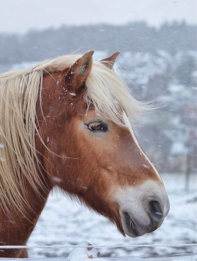 Close-up of horse in winter