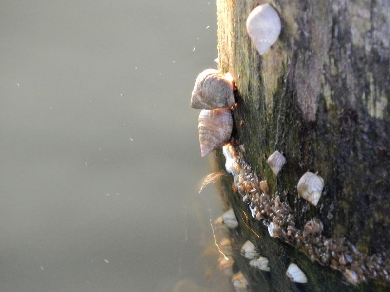 Nature truly is beautiful. Nature Snail Snails Shell Shells Pole Wodden Pier Water River Close Up Nature Golden Hour Essence Of Summer