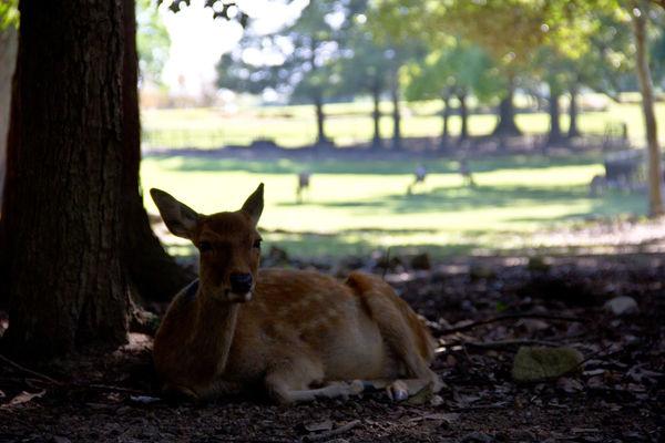 Deer Deers Japanese Deer Nara Nara Park