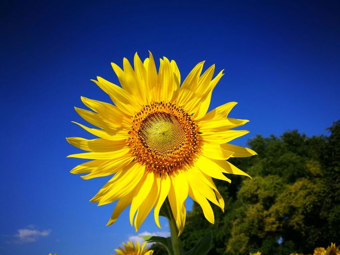 Low angle view of sunflower against clear sky