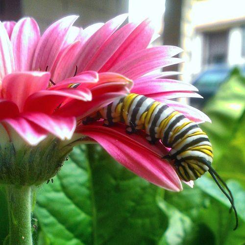 Monarch baby on my Gerbera daisy Petals Flower Macro Beauty Flowers Gerbra Daisy Bug On A Flower Bug