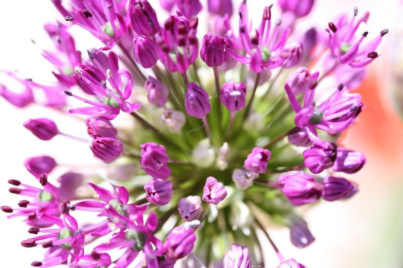 Allium Flower Flower Flowering Plant Plant Freshness Beauty In Nature Fragility Vulnerability  Selective Focus Close-up Blossom No People Growth Nature Purple Flower Head Day Outdoors