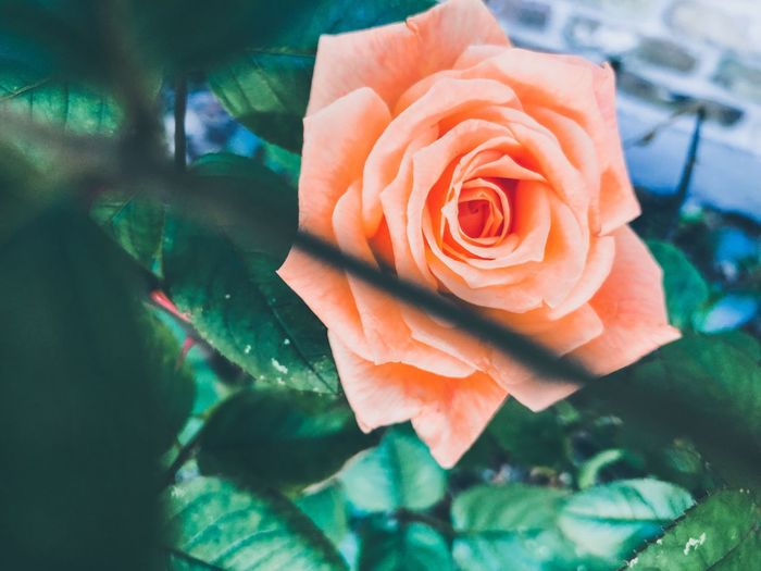 Rosé Flower Flowering Plant Rose - Flower Plant Beauty In Nature Petal No People Close-up Focus On Foreground Nature Freshness Growth Vulnerability  Flower Head Softness Inflorescence Outdoors Day Fragility Capture Tomorrow Capture Tomorrow