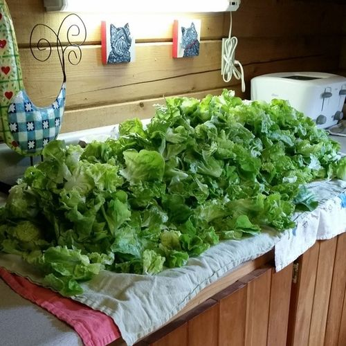 Lettuce monster! We're gonna need a bigger boat Frommygarden Lettuce TomThumb Yum organic organicfoodporn organicgardening greens vt vtphoto vermont vermontbyvermonters