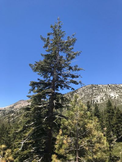 Tahoe unfiltered...... Sky Tree Low Angle View Clear Sky Plant Nature No People Growth Christmas Day Blue christmas tree Copy Space Celebration Christmas Decoration Outdoors Decoration Sunlight Holiday Religion