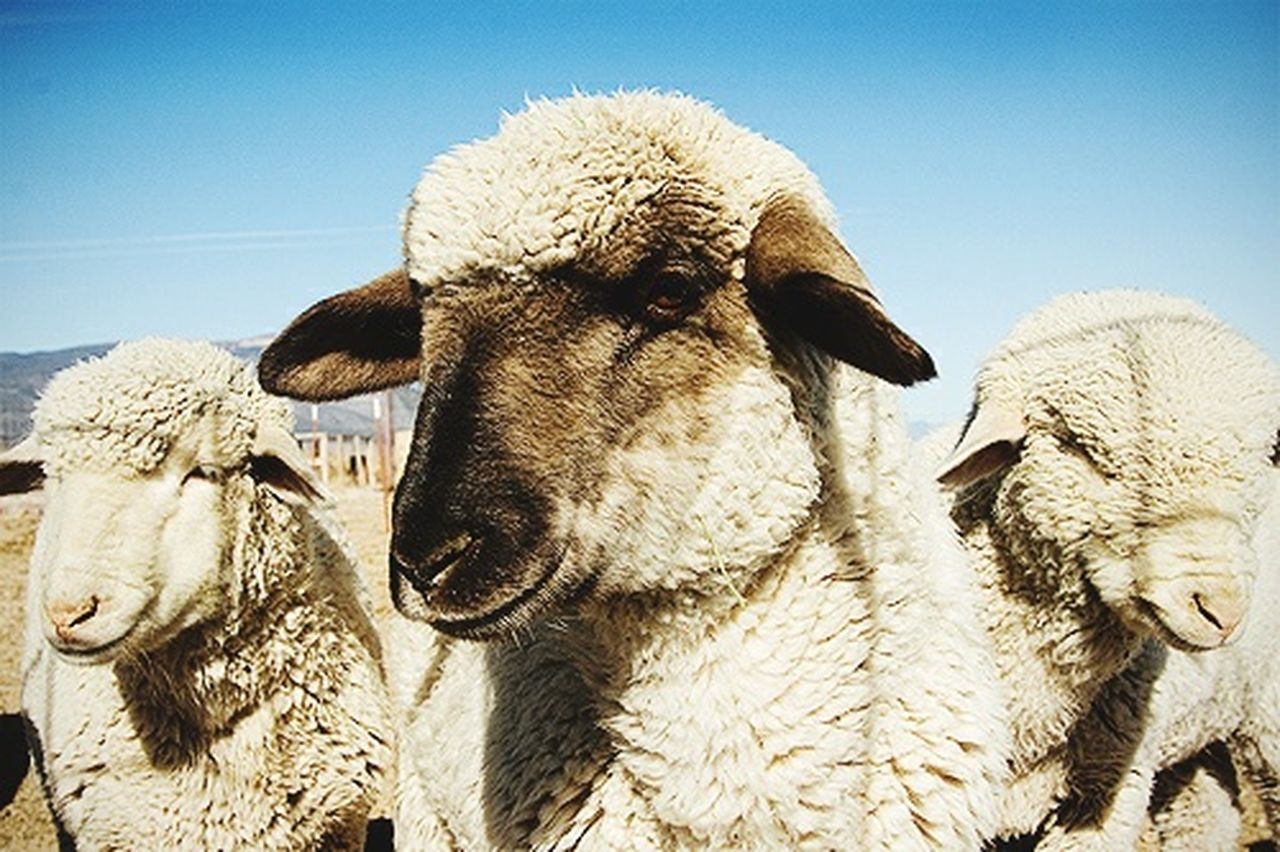 livestock, domestic animals, animal themes, mammal, agriculture, no people, sheep, outdoors, portrait, day, llama, clear sky, nature, close-up, sky