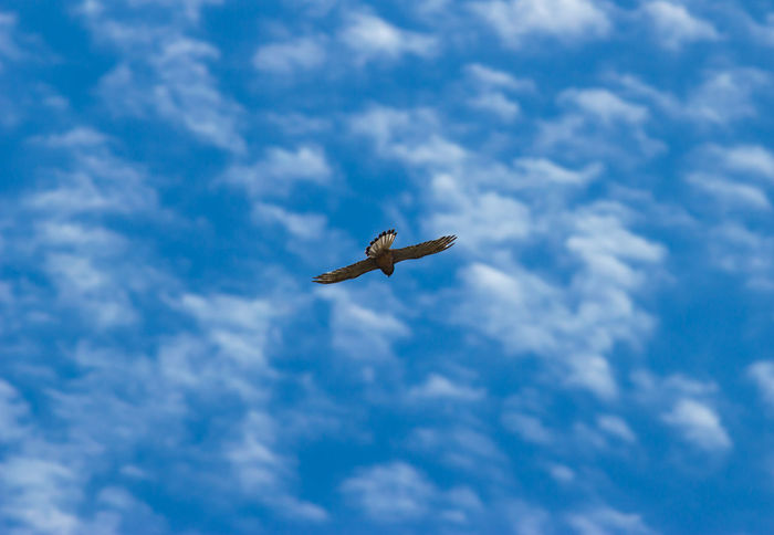 Flying Buzzard Animal Bird Bird Of Prey Bird Photography Blue Blue Sky Blue Sky White Clouds Buzzard  Buzzard In Flight Cloud - Sky Clouds Easy Fluffy Clouds Fly Flying Flying Buzzard Fokus Fokus On Foreground Free Freedom Nature Nice Day No People Stock Photography Weather