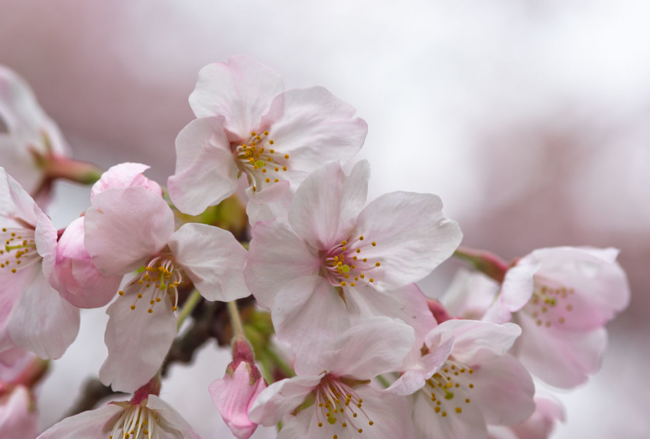 Close-Up Of Pink Cherry Blossoms Growing Outdoors