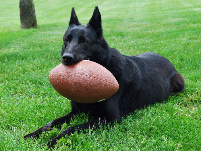 Black dog with ball on field
