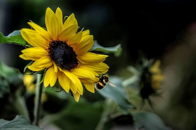 | bumblebee and sunflower match | No People Flowers Bee And Flower Eye4photography  Nature_collection Nature Photography Nature Outdoors Eye4photography  EyeEm Nature Lover EyeEm Gallery Outdoor Photography EyeEm Best Shots - Nature Eyemphotography Eye Em Nature Lover Enjoying Life Eyephotograpghy