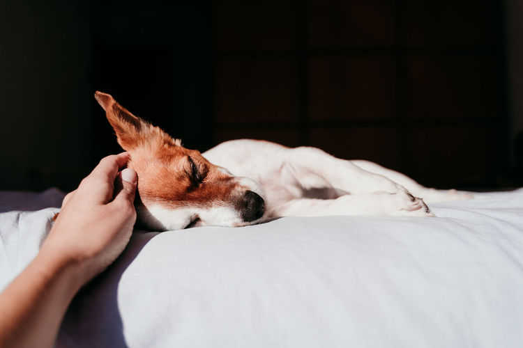 Cropped image of hand touching dog on bed