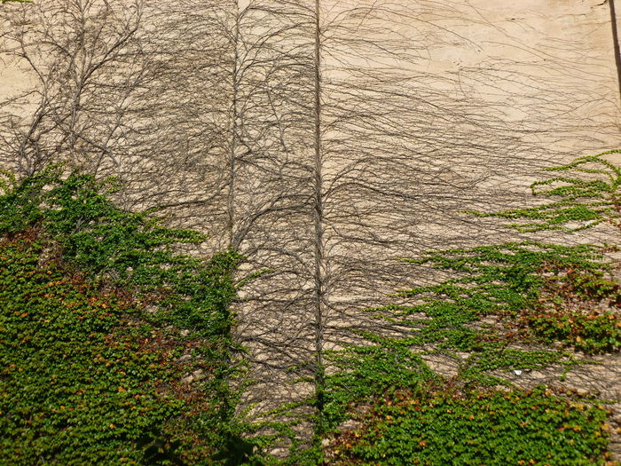 FINDING MY GROOVE Building Wall EyeEmNewHere Green Vines Side Of A Building Vines On Building Bare Tree Beauty In Nature Growth Nature Outdoors Plant