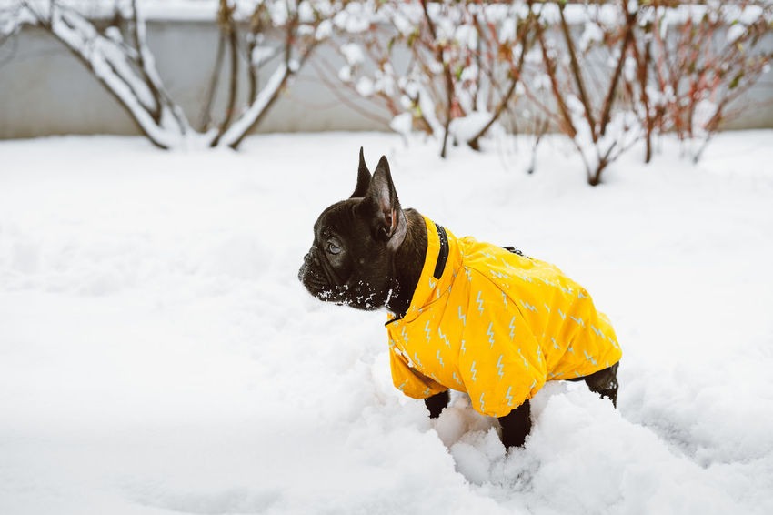 Zero meets snow. Pet Pet Portrait Side View Frenchie Pets Snow Cold Temperature Winter Dog Yellow Warm Clothing Full Length Tree Pet Clothing Purebred Dog Puppy Bulldog French Bulldog Canine Pampered Pets