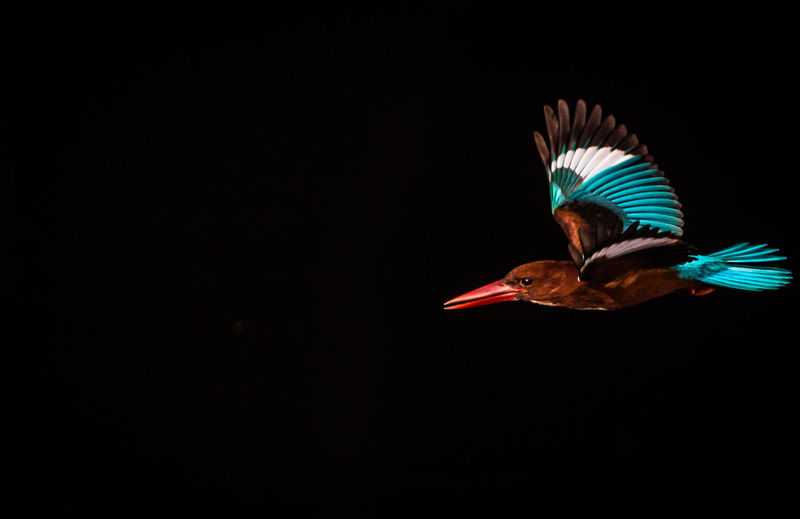 Close-up of bird flying against black background
