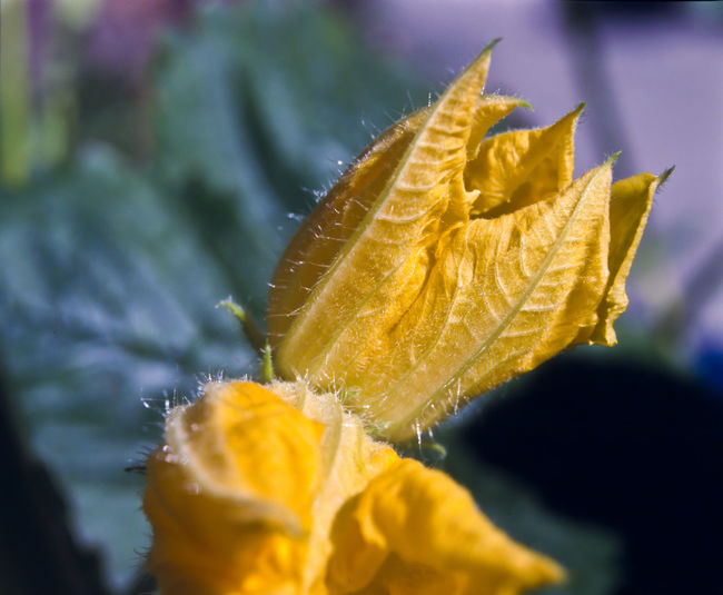Close-up of yellow flower on leaves