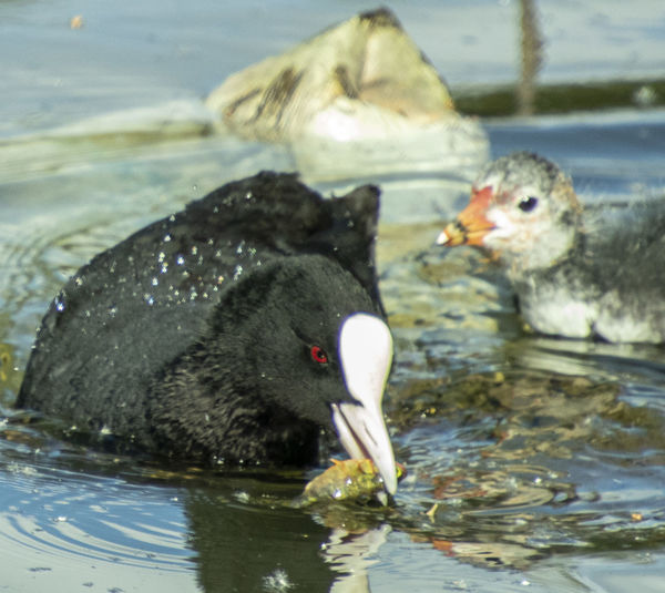 Mother coot