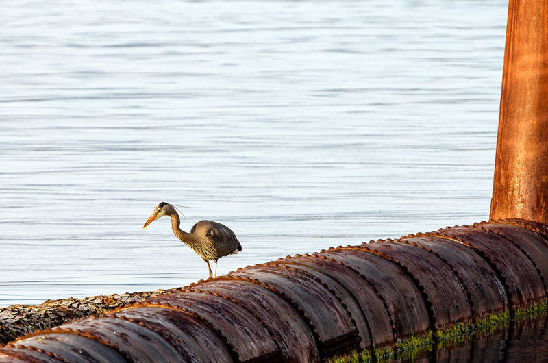 Blue heron perching on rusty metallic pipe by lake