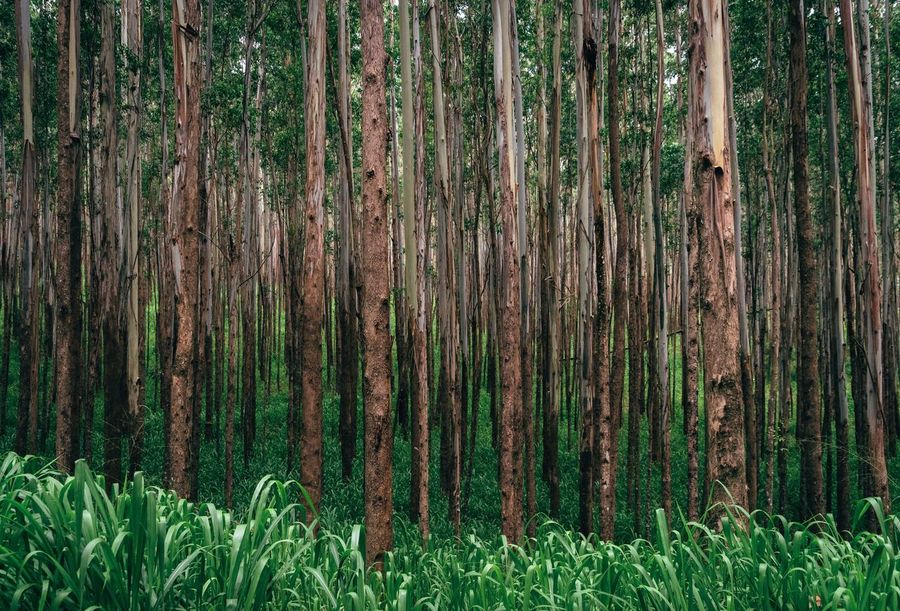 Tree Trunk Growth Nature Tree Green Color Grass Forest Outdoors Day Beauty In Nature Plant No People Tranquility Close-up Eucalyptus Grove Hawaii