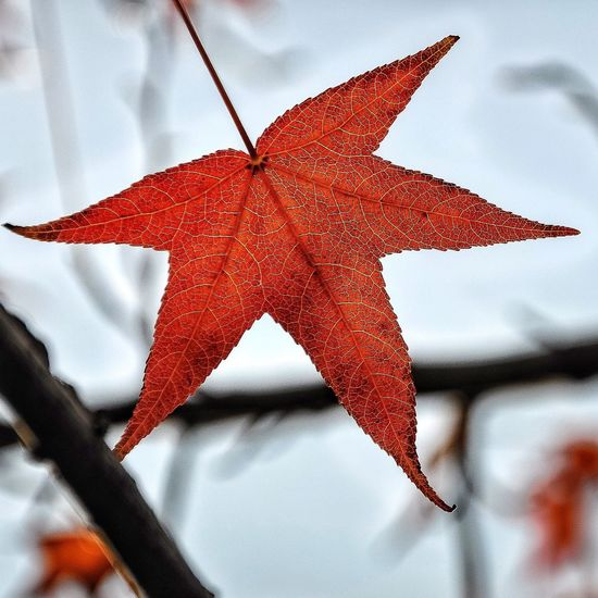 Autumn.. Leaf Autumn Change Close-up Season  Leaf Vein Natural Pattern Red Maple Leaf Focus On Foreground Natural Condition Dry Leaves Branch Day Damaged Nature Beauty In Nature Outdoors Red Color