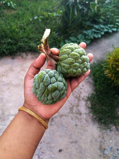 Close-up of person holding custard apple