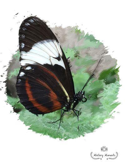 Heliconius Cydno Heliconius Cydno Butterfly Butterflies Butterfly Art World Butterflies Insect Insect Photography Nature Nature Photography Nature Photography Art EyeEm Nature Lover EyeEm Best Shots Eye4photography  Artistic ArtWork Art Myartwork MyArt