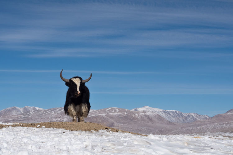 Yak standing on snow covered field