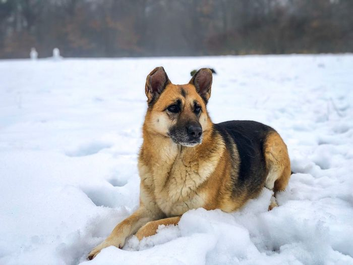 German shepherd in the snow Dog Love Cold Alone Forest Focus On Foreground Portrait Fur Cute Resting Lazy Animal Snow Winter Cold Temperature One Animal Canine Dog Animal Themes Mammal Domestic Domestic Animals Vertebrate No People German Shepherd Pets Day Nature Field Outdoors Powder Snow