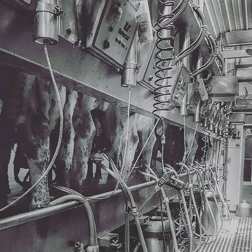 Dairy Cow Cows Work Milk Cheese Farm Farmlife Life Dairylife AG Agriculture Rhec Loveit Milkgamestrong Happycows Dirtycows Parlor Lifestyle Pic Photo Photography