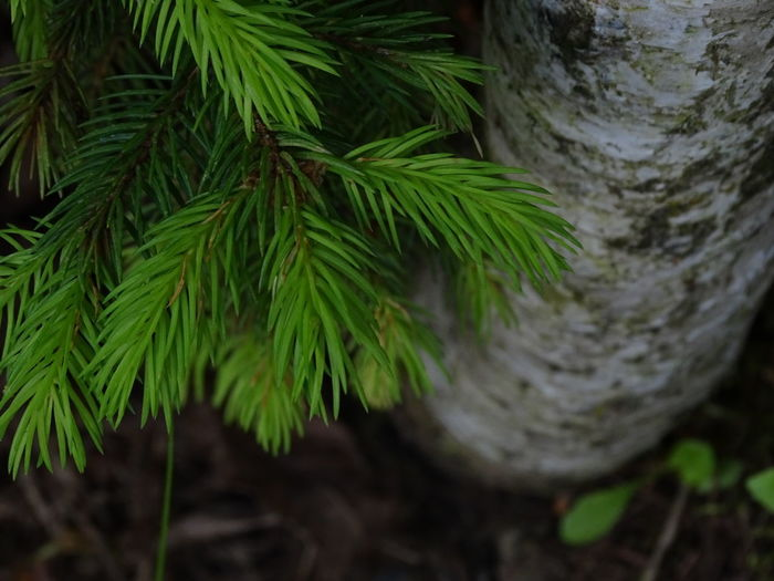 Beauty In Nature Branch Close-up Coniferous Tree Focus On Foreground Green Color High Angle View Nature No People Outdoors Pine Tree Plant Selective Focus Tranquility Tree Tree Trunk Trunk