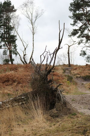 Bare Tree Branch Chobham Common Countryside Day Grass Heathland  Landscape Nature No People Outdoors Sky Surrey Countryside Tree Uprooted Tree