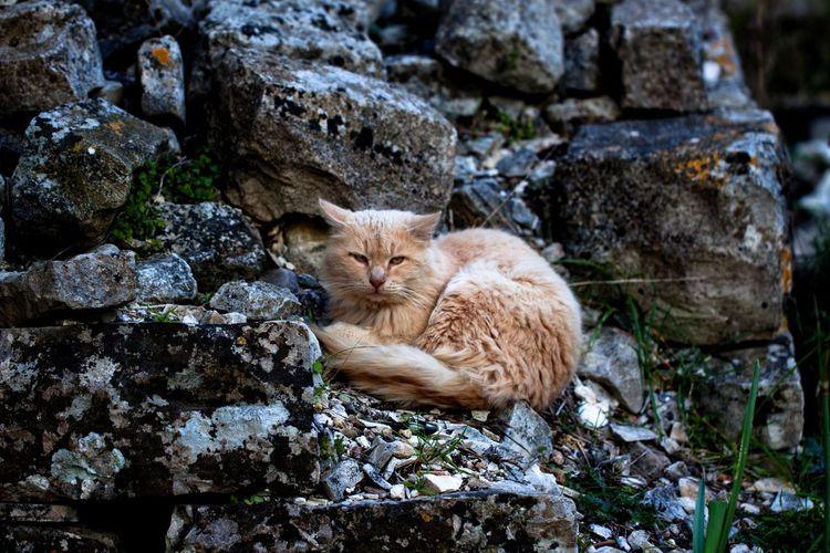 Cat on an old stone wall. Mammal Domestic Cat Cat One Animal Feline Pets Domestic Domestic Animals Vertebrate Rock Solid Rock - Object Day No People Nature Relaxation Outdoors Ginger Cat Whisker Cats Cats Of EyeEm Cats 🐱