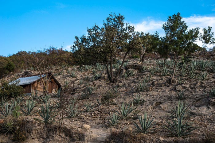 Agave Beauty In Nature Blue Cactus Day Field Grass Growth Landscape Mexico Mezcal Nature Nature_collection No People Non-urban Scene Oaxaca Outdoors Plant Scenics Sky Tranquil Scene Tranquility Travel Travel Photography Tree Neighborhood Map