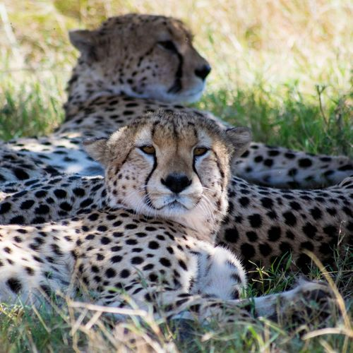 Cheetah Safari Animals Portrait Feline Spotted Animal Markings Grass Close-up Safari Big Cat Savannah Undomesticated Cat East Africa Cat Family Threatened Species Masai Mara National Reserve Wildlife Reserve