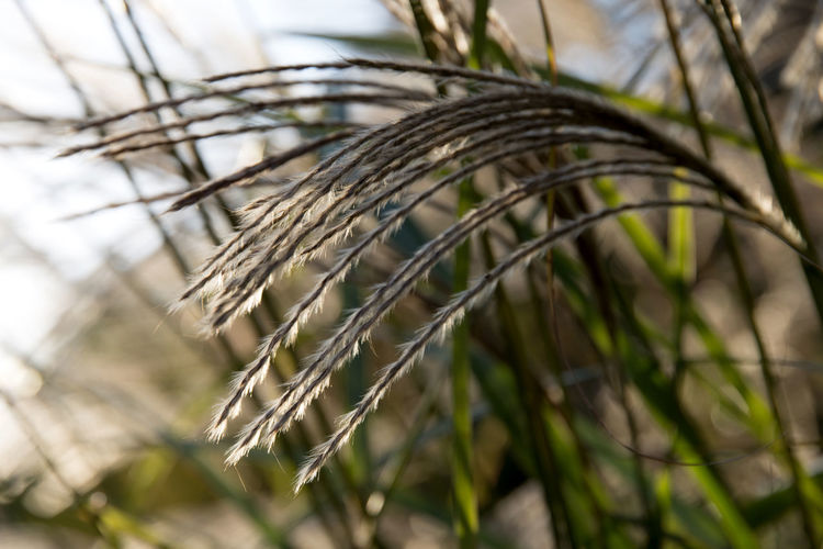 autumn silver grass shining with sunlight Autumn Fall Beauty Grass Silver Grass Autumn Silver Grass Beauty In Nature Close-up Day Focus On Foreground Growth Nature No People Outdoors Shining With Sunlight Silvergrass
