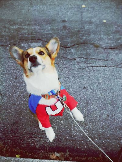 Halloween My Dog Is Cooler Than Your Kid. Corgi Have no fear! UNDERDOG IS HERE