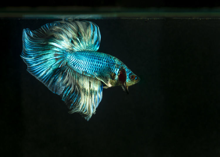 Betta in the water.small freshwater fish.