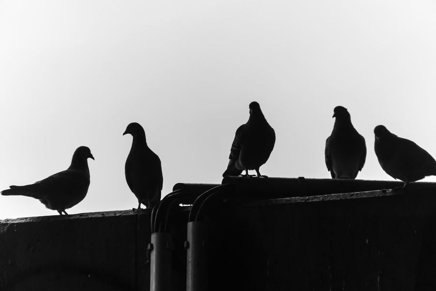 Animal Themes Animal Wildlife Animals In The Wild B&w Berlin Photography Berliner Ansichten Bird Black And White Day Dove Doves Low Angle View No People Outdoors Perching Silhouette Sky Tauben Three Animals Urban Exploration