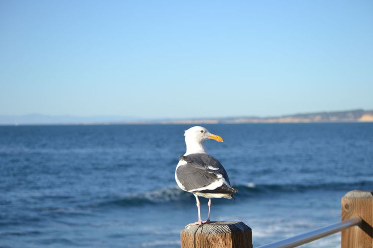 Bird Sea Animal Themes Animals In The Wild Vertebrate Animal Water Animal Wildlife Sky Perching Clear Sky One Animal Nature Day No People Copy Space Scenics - Nature Horizon Over Water Horizon Seagull Outdoors Wooden Post California Beach Nature_collection Seabird Ocean View Ocean America California Coast California Dreaming Sea And Sky colour of life View