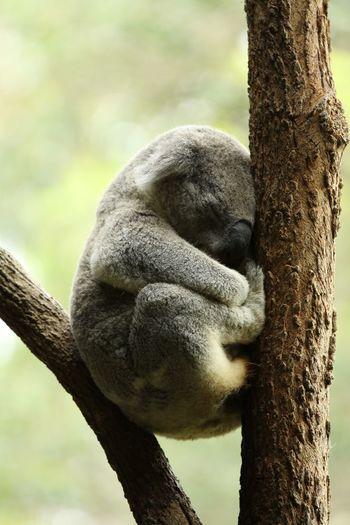 Koala sleeping on branch